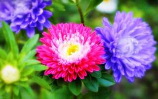 Астры: выращивание и разведение