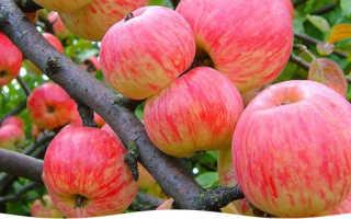 Выращиваем яблоневый сад правильно, красиво и успешно, совет садовода