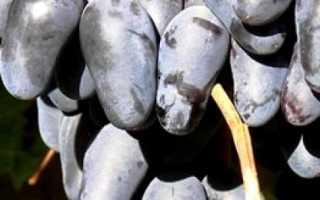 Виноград Памяти Негруля: характеристика сорта, посадка, выращивание, достоинства, отзывы