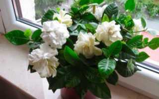 Гардения: лучшие советы по уходу за комнатным цветком