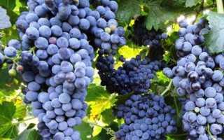 Виноград Каберне Совиньон: описание, характеристика, выращивание