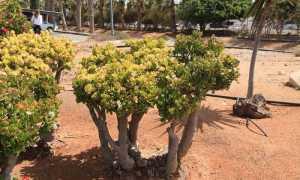 Денежное дерево или толстянка болеет: у денежного дерева краснеют листья