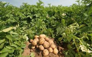 Как получить большой урожай картофеля, лучшие сорта