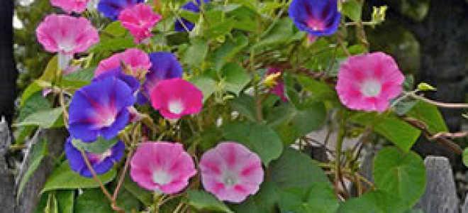 Ипомея небесно-голубая: все о выращивании цветка