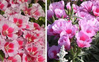 Годеция — сорта и разновидности, способы выращивания и ухода, лечение болезней