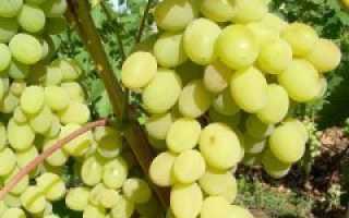 Виноград «Августин»: описание сорта, фото, отзывы