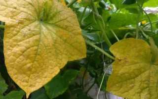 5 причин, почему желтеют листья у огурцов, расскажем, что делать?