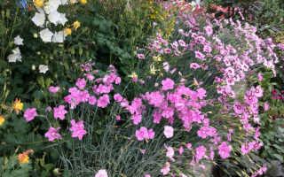 Декоративная гвоздика многолетняя в саду