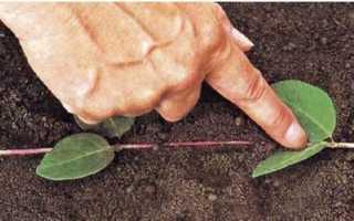 В чем преимущества размножения жимолости отводками и как правильно провести процедуру