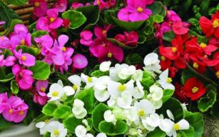 Декоративно-цветущие клубневые бегонии. Фото