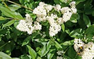 Бирючина — Ligustrum: фото, условия выращивания, уход и размножение