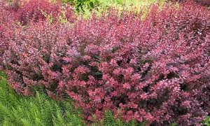 Барбарис обыкновенный 'Атропурпуреа' фото, описание, выращивание, уход, применение