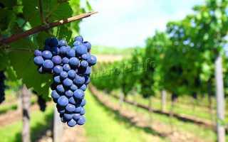 Виноград «Амурский»: описание сорта, фото, отзывы