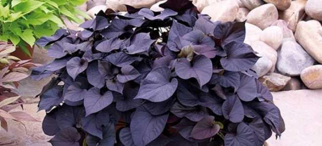 Ипомея батат: тонкости посева семян и ухода за растением, видео