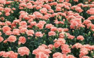Золотые акценты: выбираем семена цветов для посадки рассады