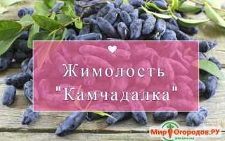 Жимолость Камчадалка: описание сорта, фото, отзывы садоводов