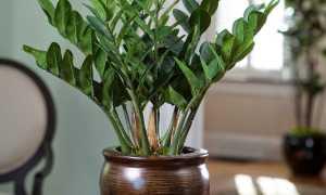 Замиокулькас замиелистный, родина растения, приметы и суеверия, описание и фото, уход в домашних условиях