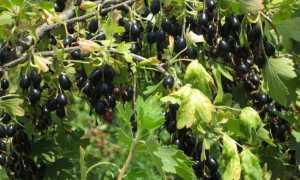 Йошта: фото и описание, сорта, гибрид смородины и крыжовника, посадка и уход, ягоды