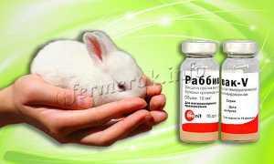 Вакцина Раббивак В: инструкция по применению для кроликов, как разводить на 10 доз
