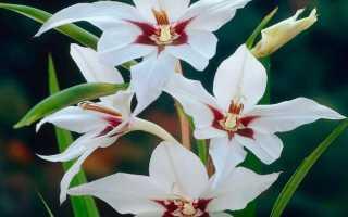 Ацидантера: посадка и уход в открытом грунте, фото и описание видов