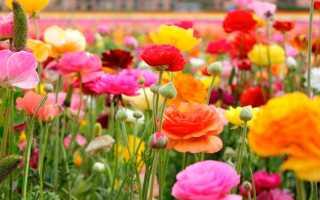 Как вырастить ранункулюс в домашних условиях из семян