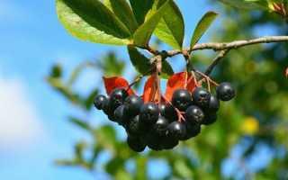 Арония черноплодная: описание. Лечебные свойства, как выращивать