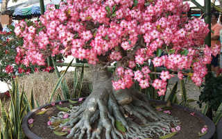 Адениум тучный: описание комнатного растения, его фото и уход в домашних условиях, а также особенности