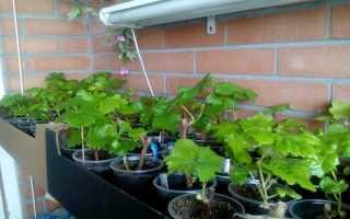 Выращивание дикого винограда на балконе, как вырастить виноград в горшке