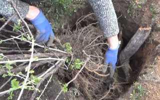 Как пересадить смородину весной на новое место