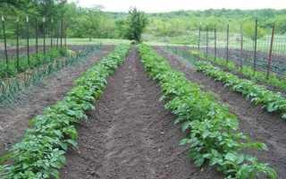Голландский метод выращивания картофеля: правильный уход
