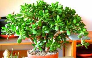 Как пересадить денежное дерево в домашних условиях и можно ли пересаживать толстянку зимой, уход за деревом после пересадки