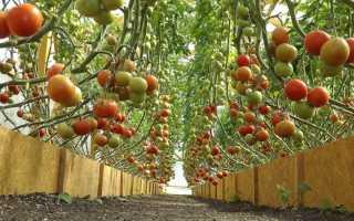 Высокорослые помидоры для теплицы: 15 самых урожайных сортов