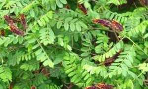 Аморфа карликовая (Amorpha nana) — описание, выращивание, фото