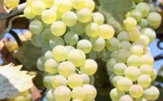 Виноград Ркацители: описание сорта, фото и отзывы садоводов