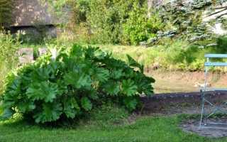 Дармера – редкий экзот для украшения тенистого сада