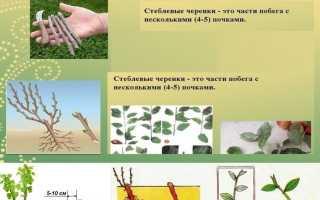 Выращивание и размножение брусники