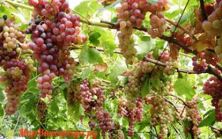 Виноград Голд Кишмиш: что нужно знать о нем, описание сорта, отзывы