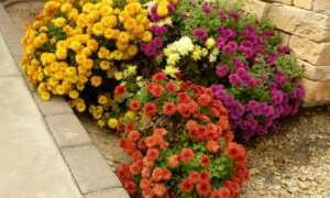 Выращивание хризантем из семян в домашних условиях: посадка и уход, фото, отзывы