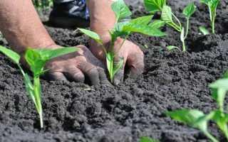 Как сажать рассаду перца в грунт – полезные советы