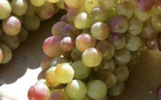 Виноград Лидия: описание сорта и фото – обрезка и размножение