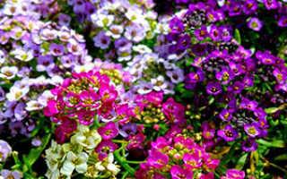 Алиссум горный: травянистые растения для открытого грунта, фото, особенности посадки вида и уход за цветком