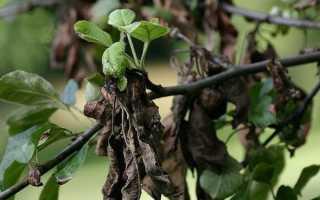 Как вылечить бактериальный ожог груши, советы садоводам