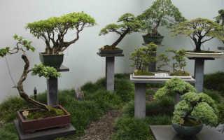 Как вырастить бонсай из комнатного цветка