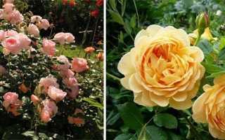 Английские садовые розы: особенности ухода, разновидности