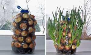 Как вырастить зеленый лук в бутылке прямо на кухне