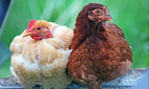 Как быстро ощипать курицу в домашних условиях