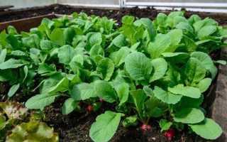 Как вырастить редис в теплице, когда и как правильно сажать редиску