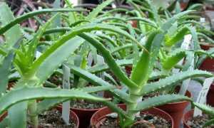 Как размножить алоэ листом в домашних условиях