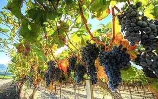 Как посадить и ухаживать за виноградом в Подмосковье