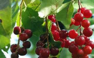 Гибрид вишни и черемухи
